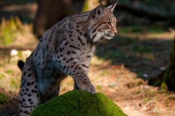 Aluminium Prints Lynx Young Eurasian lynx (Lynx lynx) walking in carpathian forrest, Slovakia