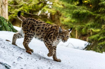Eurasian lynx (Lynx lynx) in winter nature, Slovakia