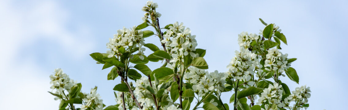 White blossoms of Amelanchier canadensis, serviceberry, shadberry or June berry tree on blue sky background. Selective focus. Nature concept for natural design