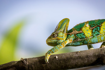 Chameleon in the zoo: Close-up picture of a chameleon climbing on a tree branch