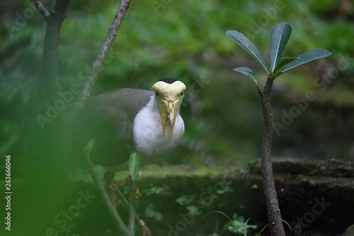 TRULEK BIRDS  Rare birds that only exist (endemic) on Java