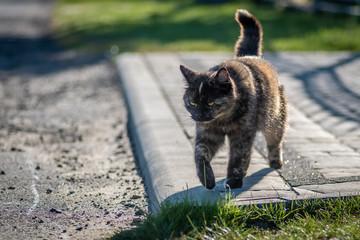 spacerujący brązowy kot europejski