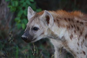 Keuken foto achterwand Hyena Tüpfelhyäne / Spotted Hyaena / Crocuta crocuta.