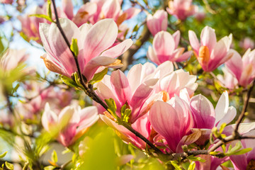 Photo sur Aluminium Magnolia Pink magnolia tree blossom against blue sky