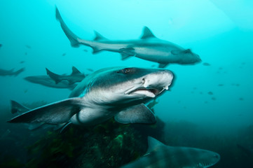 Poster Submarine Banded Hound Shark of Chiba, Japan Swimming Underwater in Green Ocean Waters