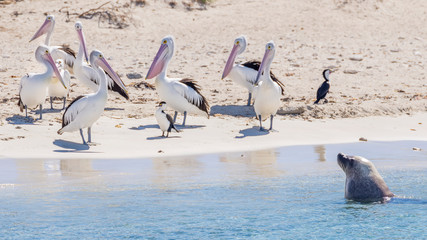 A sea lion and a group of pelicans on the sandy beach of Penguin Island, Rockingham, Western Australia