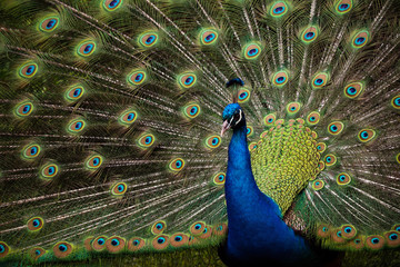 Male Peacock Outside