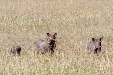 Flock with wild Warthog in the grassland