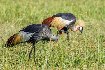 Pair of Grey Crowned Crane eating grass on the savanna