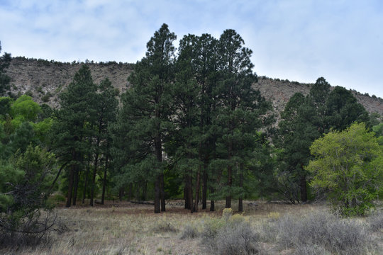 Tall Towering Evergreen Trees in New Mexico