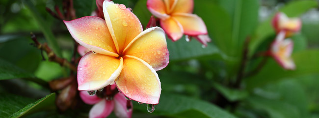 beautiful frangipani perfume flower with water rain drop on petal in rainy morning day