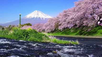Wall Mural - Cherry blossoms and Fuji mountains at Shizuoka, Japan