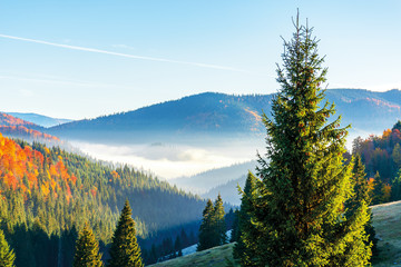 wonderful autumn sunrise in mountains. fog floating in the distant valley. hills with spruce and beech forest. beautiful sunny weather