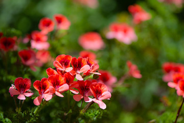 The red geranium flowers in selective focus.