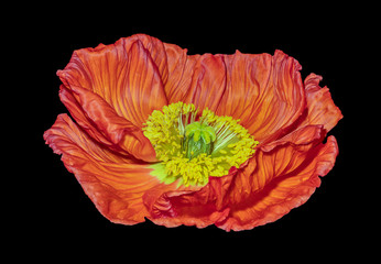 Floral fine art still life color macro of a single isolated glossy red yellow satin/silk poppy wide opened blossom isolated on black background,detailed texture in surrealistic vintage painting style