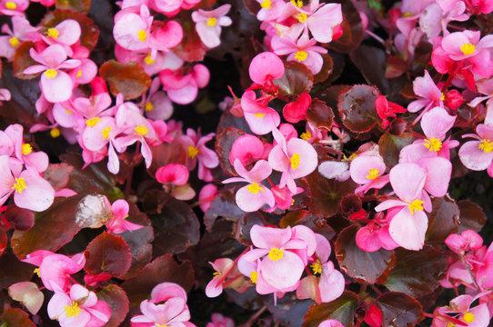Begonia semperflorens pink flowers