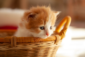 small ginger kitten in the basket in home