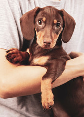dog puppy breed dachshund on hand of a boy, a teenager and his pet.
