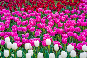 Spoed Foto op Canvas Roze Tulip garden in a park. Variety of tulip flowers. Mixed colors - red, pink and white flowers
