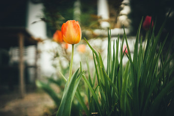 Aluminium Prints Tulip Tulps in the flower garden with a lot of depth of field at sunshine