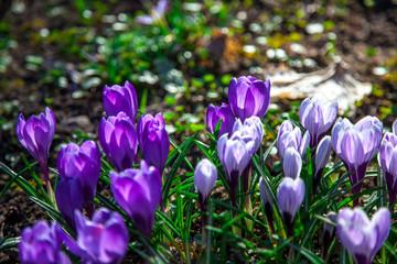 Aluminium Prints Crocuses spring flowers in the park. crocus bloom