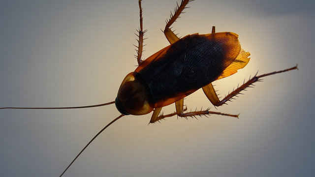 American cockroach with light effects