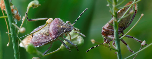 Two bugs on the stems of plants