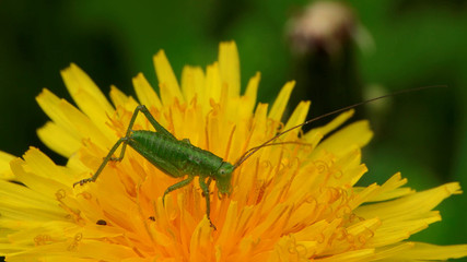 Green cricket on a yellow flower