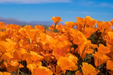 Cluster of vibrant orange poppies under blue sky