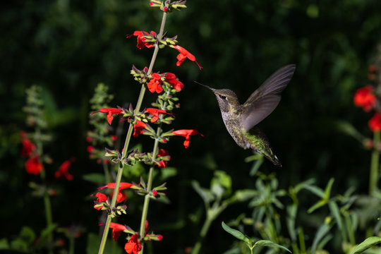 Anna's Hummingbird, mid flight, feeding on red flowers. In Arizona's Sonoran Desert.