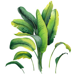Tropical banana leaves. Watercolor illustration on white background.