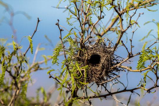Nest of a Cactus Wren in a mesquite tree in Arizona