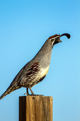 Male Gambel's Quail against a bright blue sky