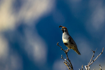 Gambel's Quail at dawn with Arizona's Chiricahua Mountains in the background