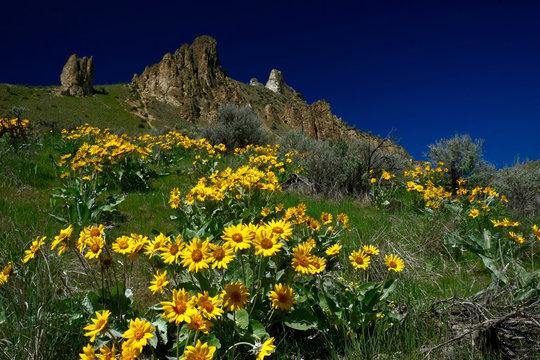 Arnica on green hill. Saddle Rock  hiking trail near Wenatchee. Washington. United States