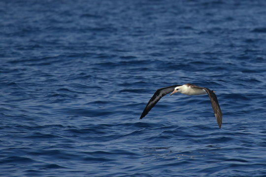 Laysan Albatross soaring over the waves