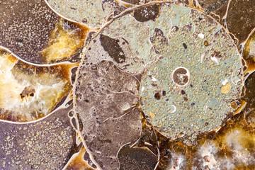 Fossil Ammonite Shell