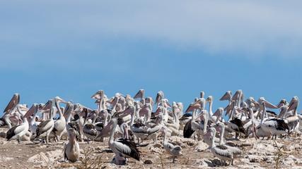 Great colony of pelicans on Penguin Island, Rockingham, Western Australia
