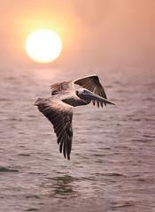 Pelican in Flight Over the Ocean at Sunrise