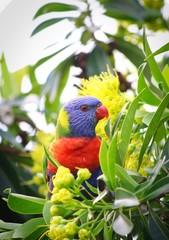 A beautiful wild Rainbow Lorikeet on a Golden Penda tree, Queensland, Australia.