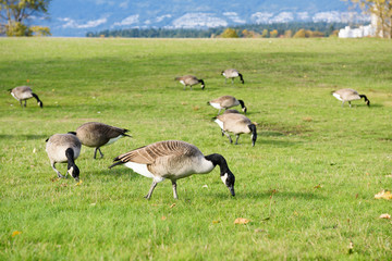 Canadian geese looking for food and eating on grass land