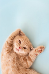 Cute little scottish fold kitten with paws up on blue background. Copy space for text. Animals protection concept.