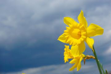 Bright narcissus flowers.  鮮やかな水仙の花