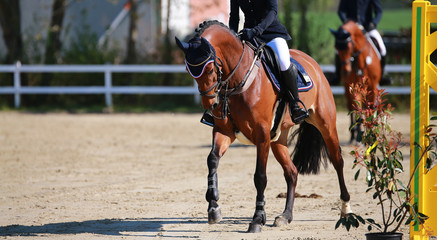 Horse brown with rider while riding on a jumping tournament..