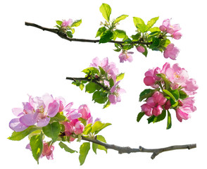 spring branch of flowers isolated, pink blossoms trees