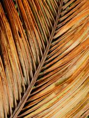 dry coconut leaf