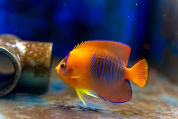 Fototapete - Captive Bred Clarion Angelfish (Holacanthus clarionensis)