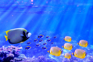 Wall Mural - Emperor Angelfish swimming in coral reef with group of powder blue tang and butterflyfish for Background usage