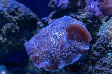 Fototapete - Giant Cup Mushroom or True Elephant Ear Mushroom (Amplexidiscus fenestrafer) a soft coral
