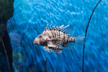 Fototapete - Volitan Lionfish..(Pterois volitans) swimming